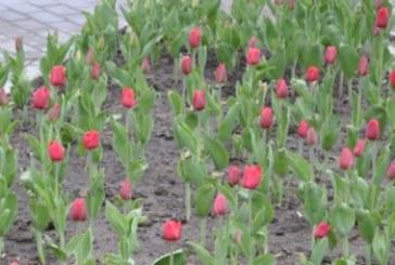 Накануне празднования 9 Мая в сквере Победы расцвели тюльпаны, высаженные прошлом году