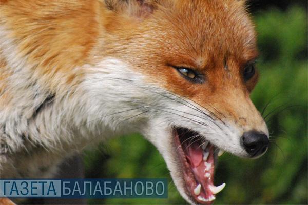 В с.Федотово Боровского района обнаружено бешенство дикого животного