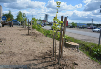 На ул.Московской высаживают липы вместо старых тополей, которые были спилены в целях безопасности